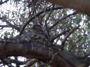 owlet difficult to spot because of the tree