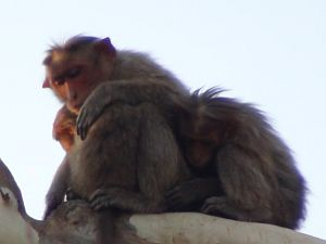 Monkeys and writing speculative fiction for persons outside India